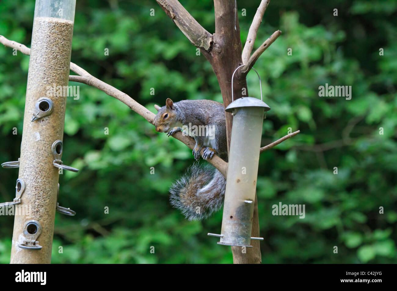 Eastern Grey Squirrel, Sciurus carolinensis, preparing to steal from a bird feeder. - Stock Image