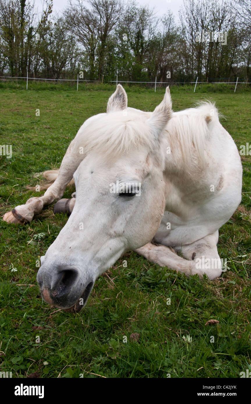 horse pony arab gelding - Stock Image