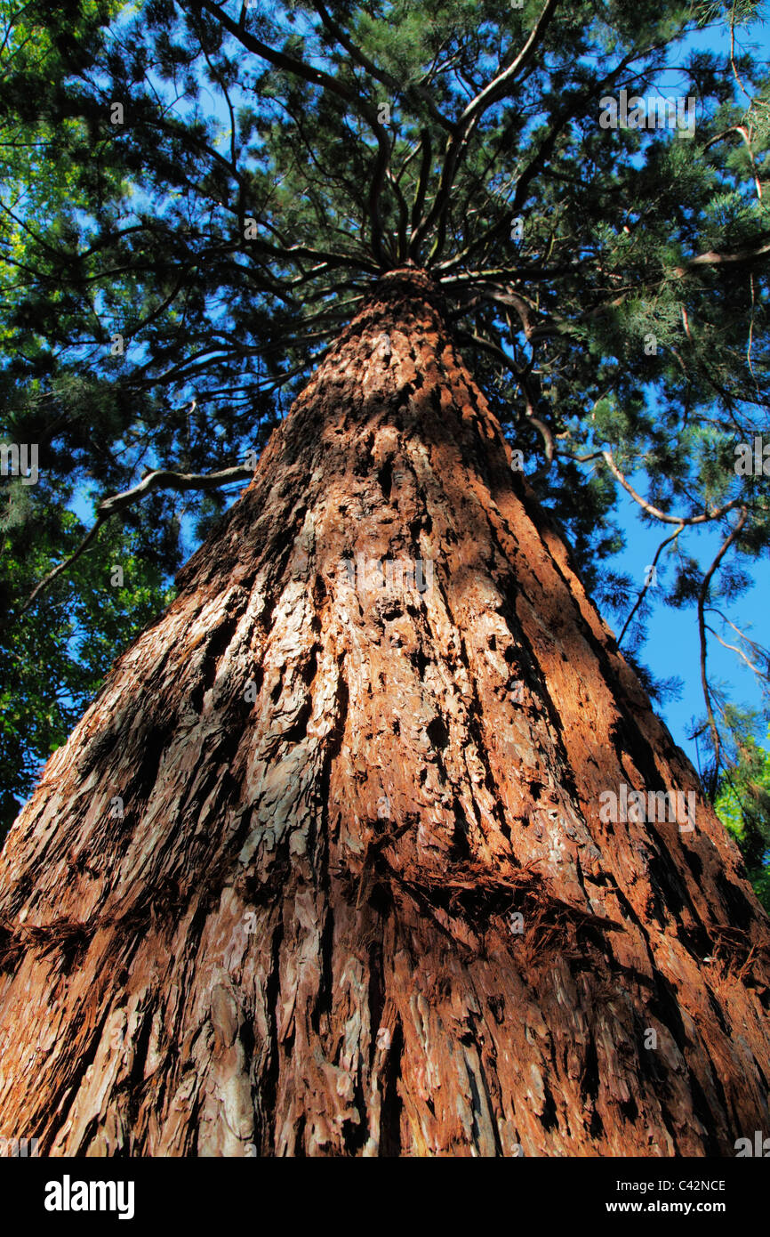 giant redwood or sequoia tree; Latin: Sequoia gigantea German: Mammutbaum - Stock Image