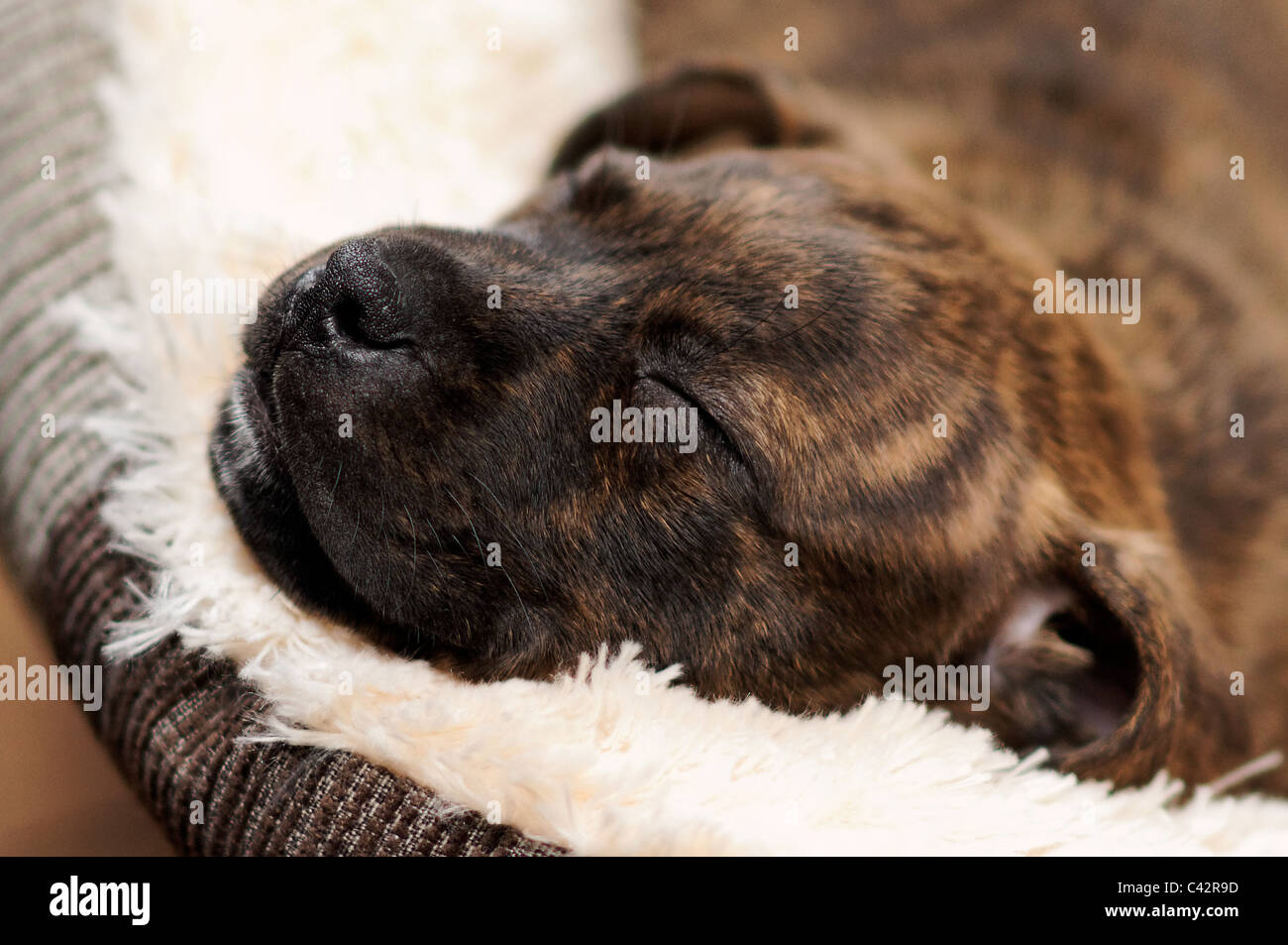 Puppy Staffy Sleeping - Stock Image