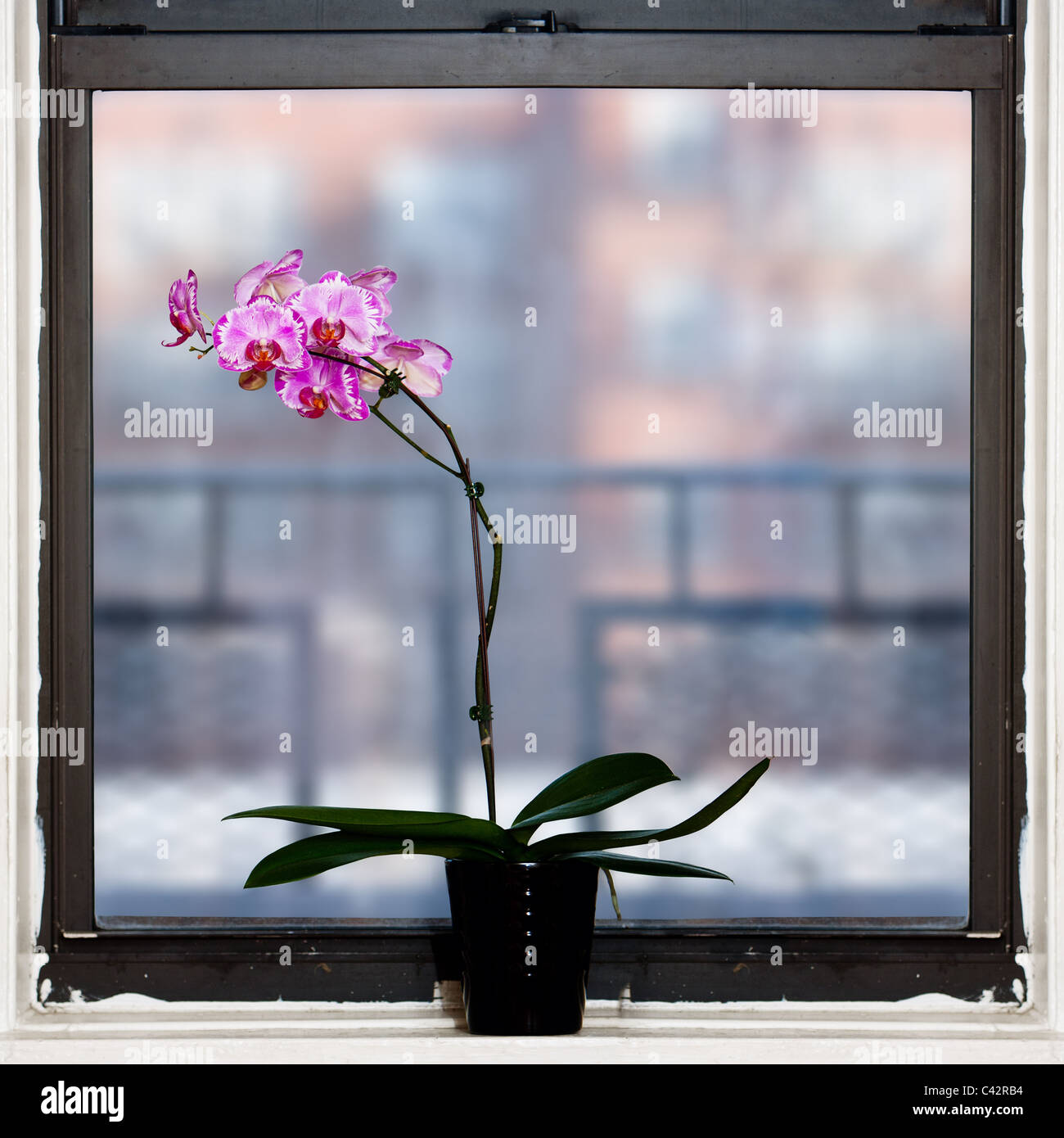Beautiful Orchid Phalaenopsis plant by square window. Stock Photo