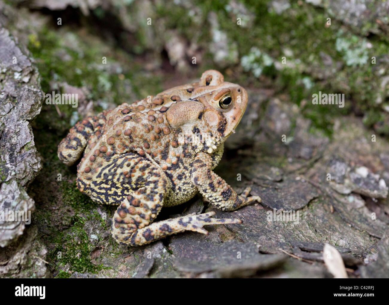 North American Fowler's toad (Anaxyrus fowleri) sitting on log - Virginia, USA Stock Photo