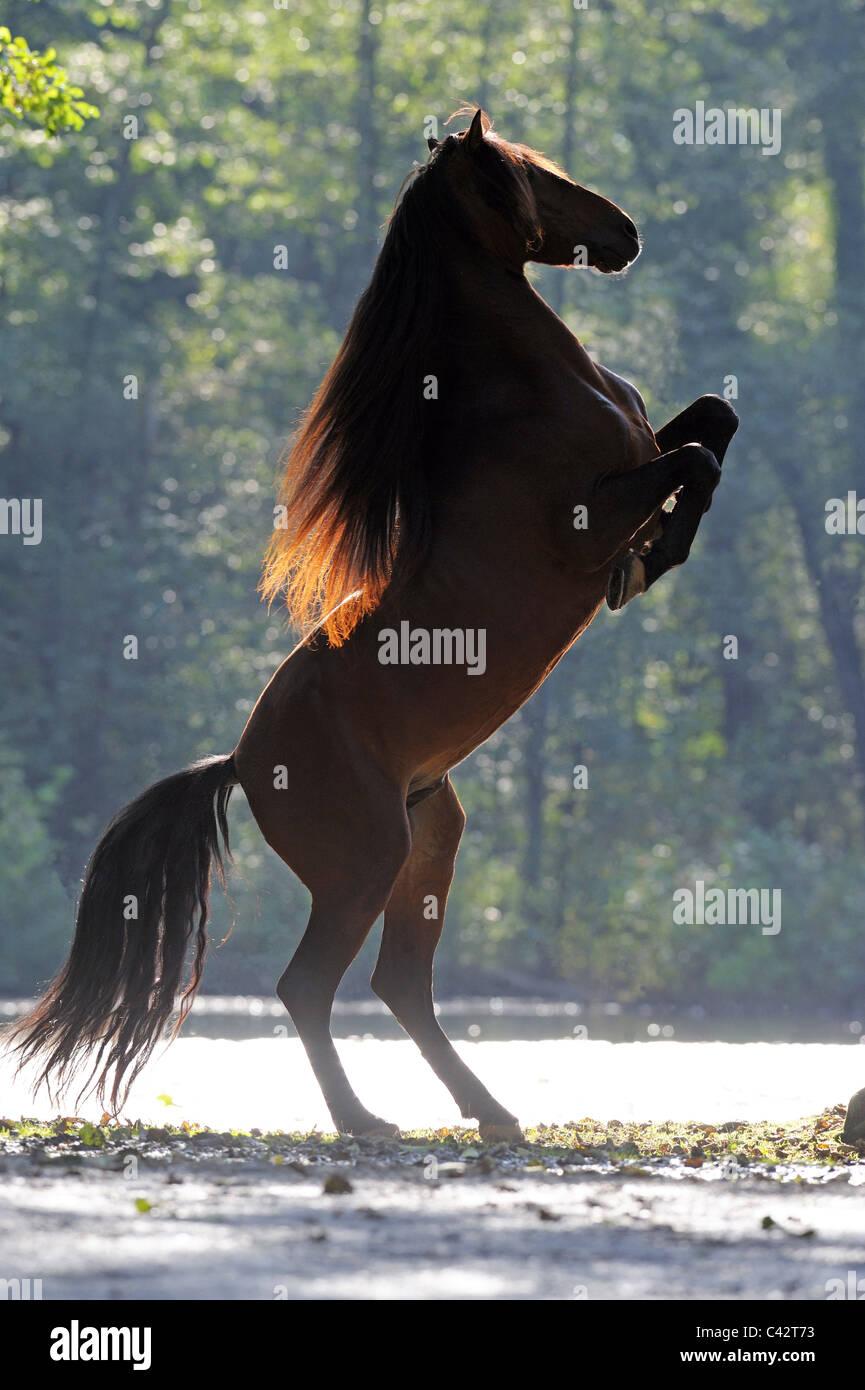 Andalusian Horse (Equus ferus caballus). Bay stallion rearing. Germany. - Stock Image
