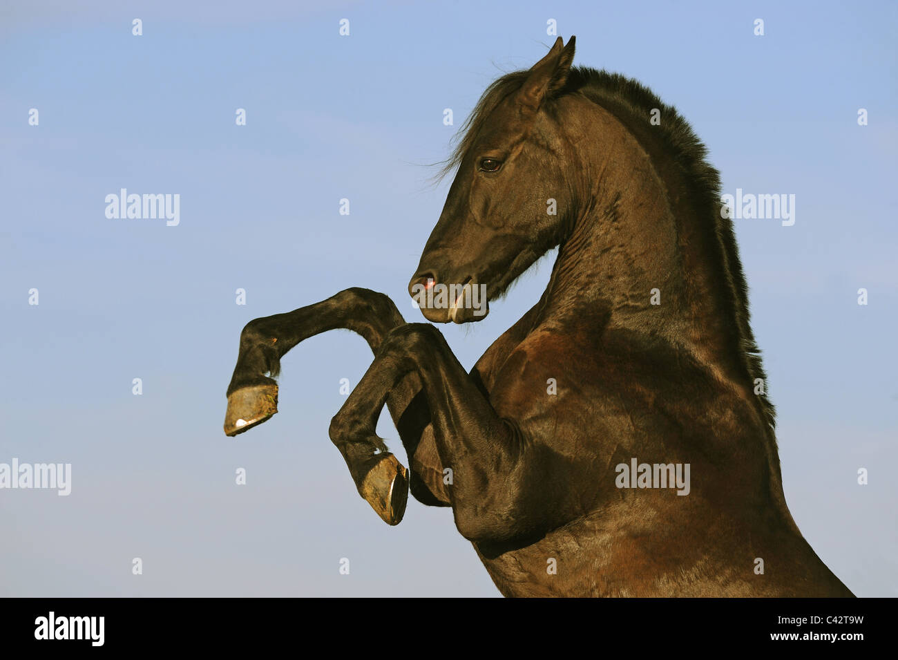 Domestic Horse (Equus ferus caballus), mix between Arabian and Barb. Black gelding rearing. Germany. - Stock Image