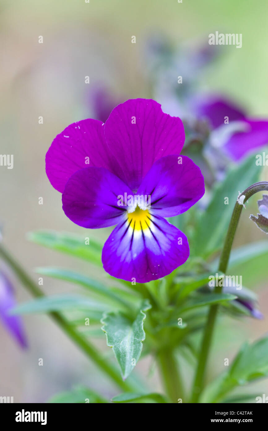 [Viola tricolor] Heartsease European wild flower Shallow DOF - Stock Image