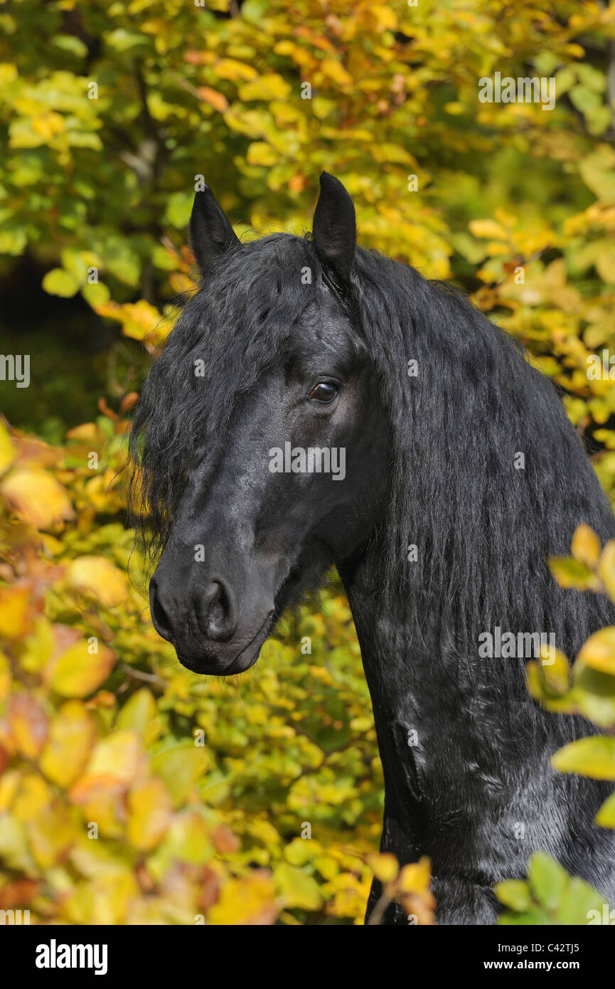 Friesian Horse (Equus ferus caballus), portrait of a young stallion. Germany. - Stock Image