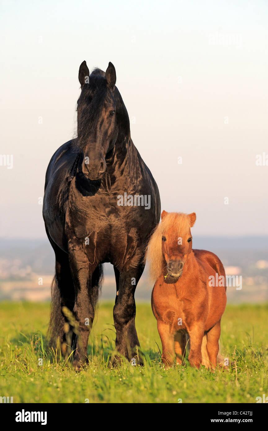 Friesian Horse (Equus ferus caballus). Stallion with its friend, a Miniature Shetland Pony. Germany. - Stock Image