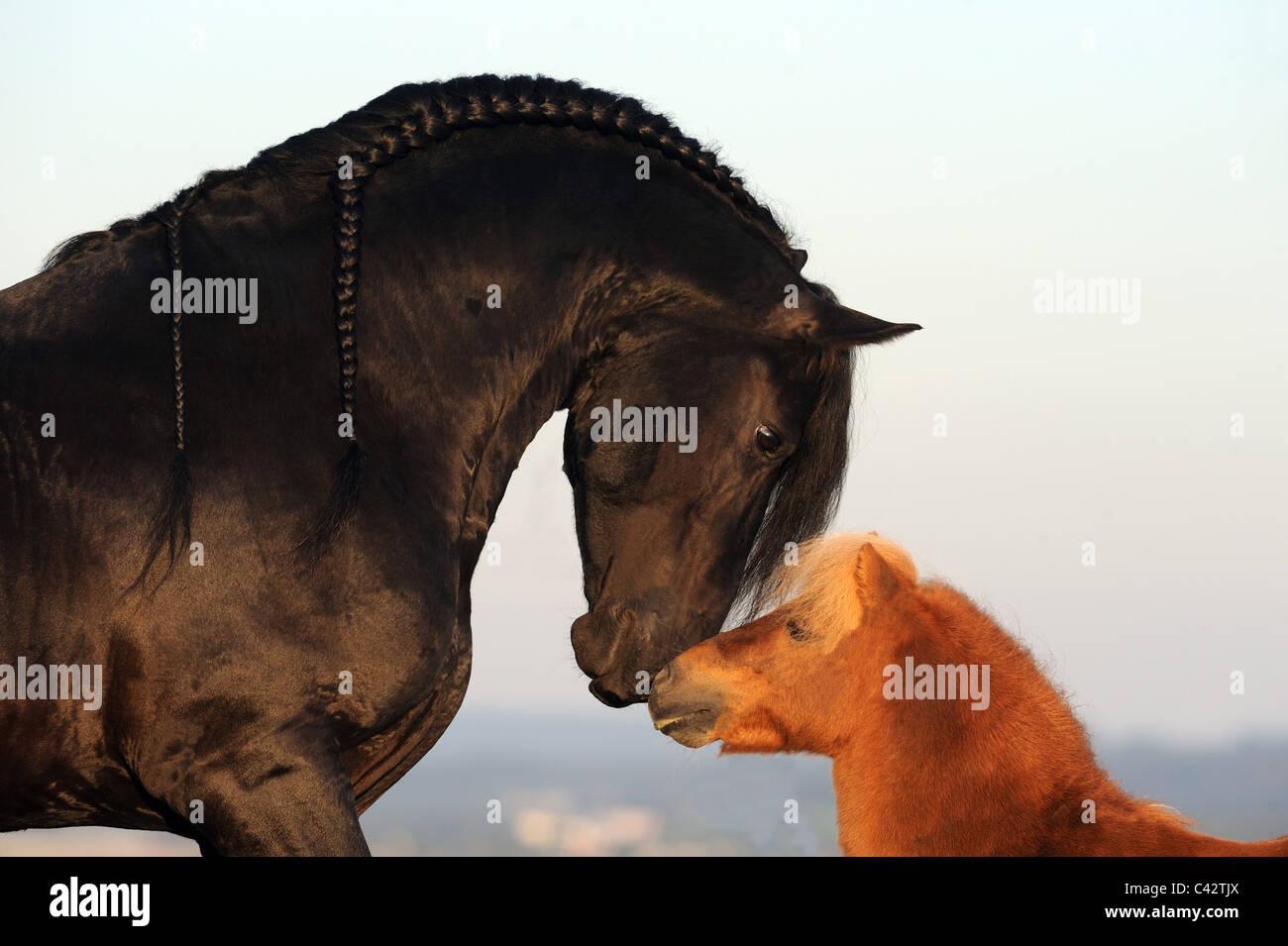 Friesian Horse (Equus ferus caballus). Stallion sniffing at its friend, a Miniature Shetland Pony. Germany. - Stock Image