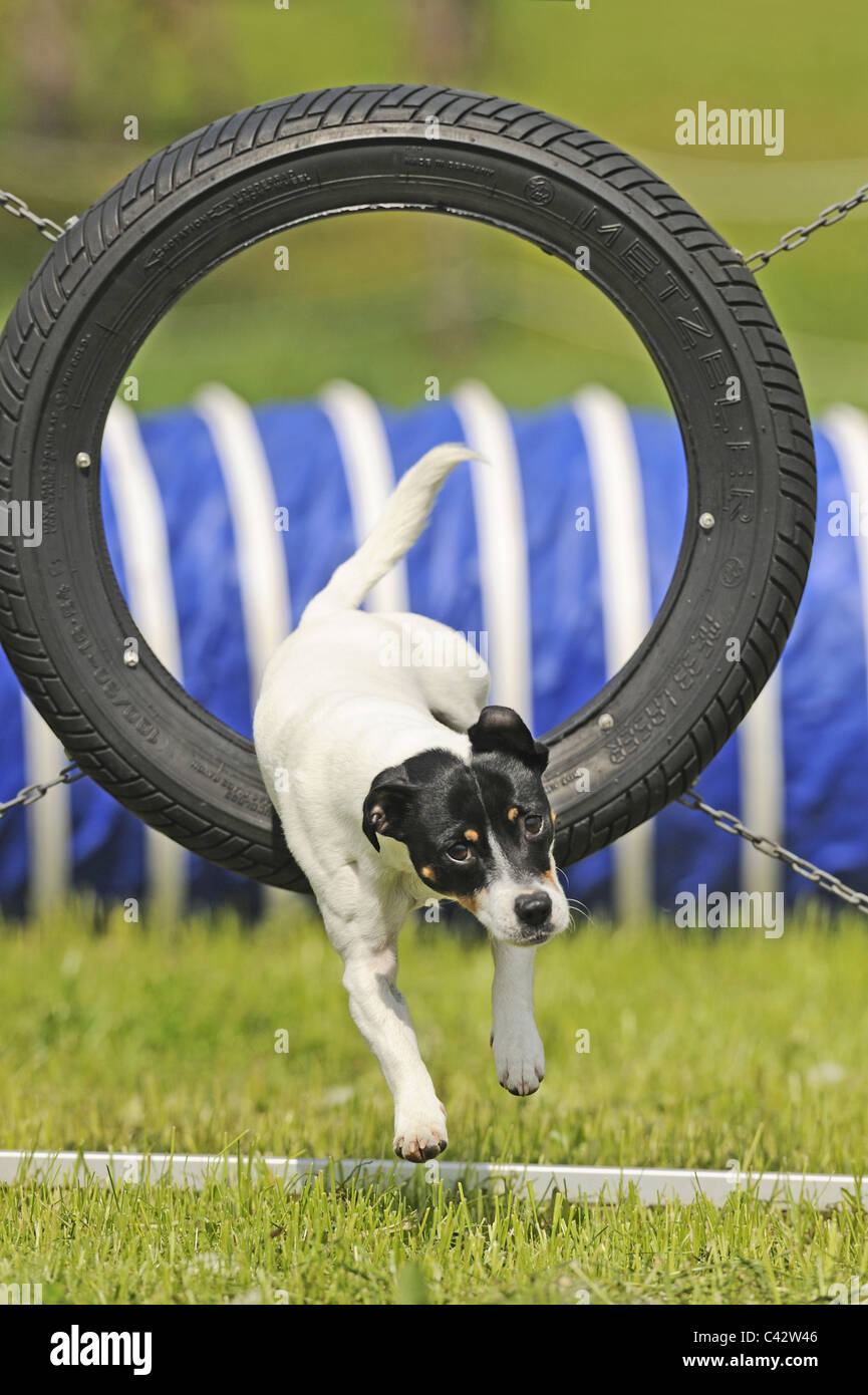 Jack Russell Terrier (Canis lupus familiaris) jumping through a tire on an obstacle course. Germany. - Stock Image