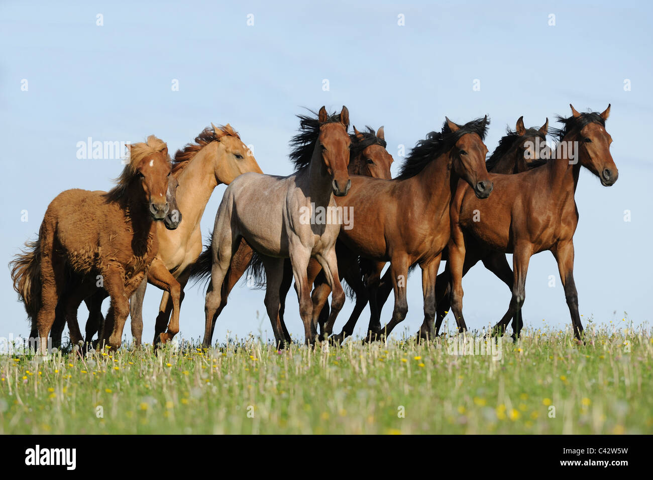 Mangalarga Marchador and Icelandic Horse (Equus ferus caballus). Herd of young stallions trotting on a meadow. Germany. - Stock Image