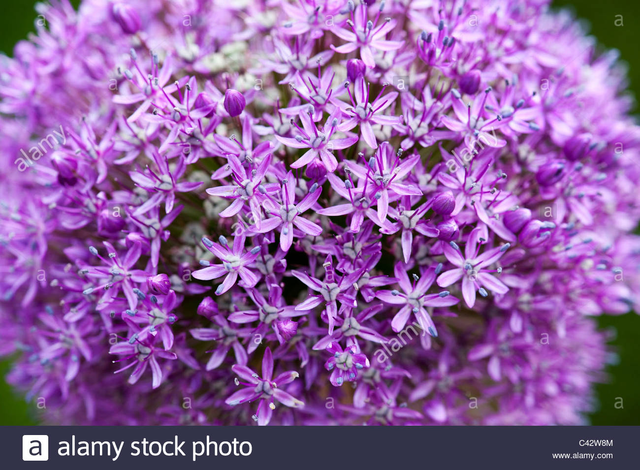 Allium 'Ambassador'. Ornament onion flower going to seed - Stock Image