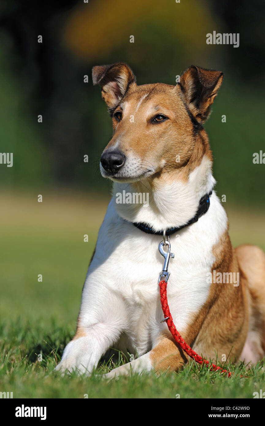 Mongrel (Canis lupus familiaris) with collar and lead, lying in grass. Germany. - Stock Image
