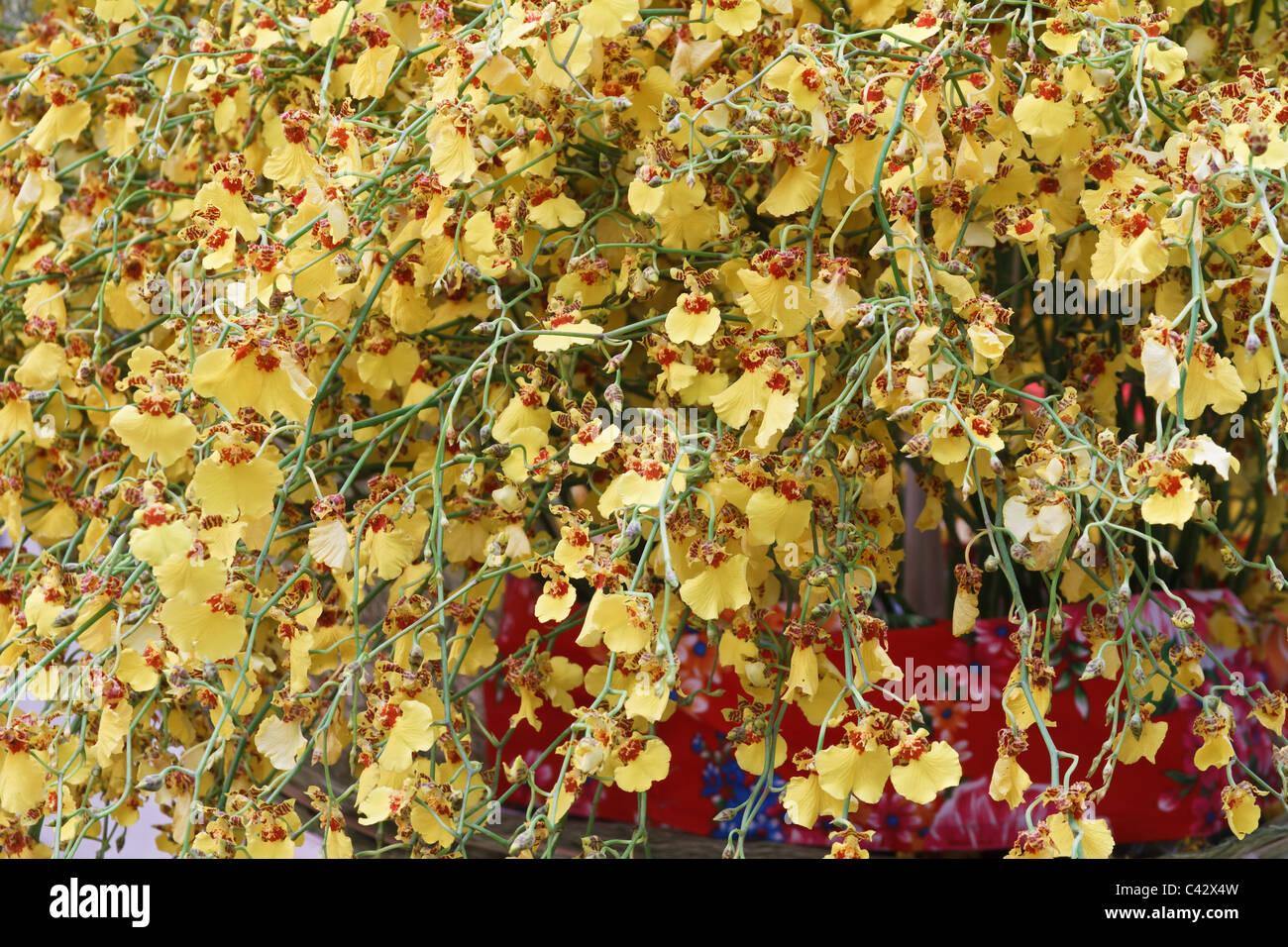 Flowers exotic detail rare stock photos flowers exotic detail rare beautiful yellow oncidium flowers hang from orchid plant stock image izmirmasajfo