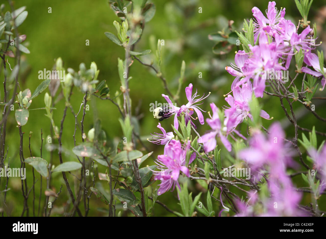 Bumble bee on tiny purple flowers Stock Photo