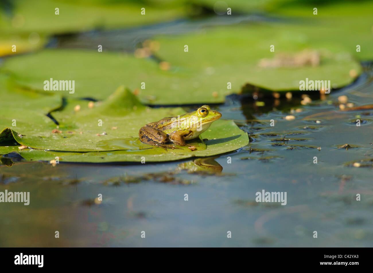 Pool Frog (Rana lesonae), on lily pad - Stock Image
