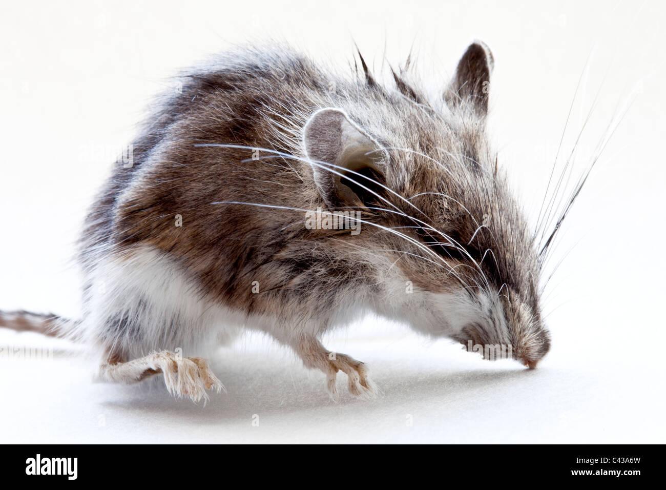 Immature dead field mouse, Stock Photo