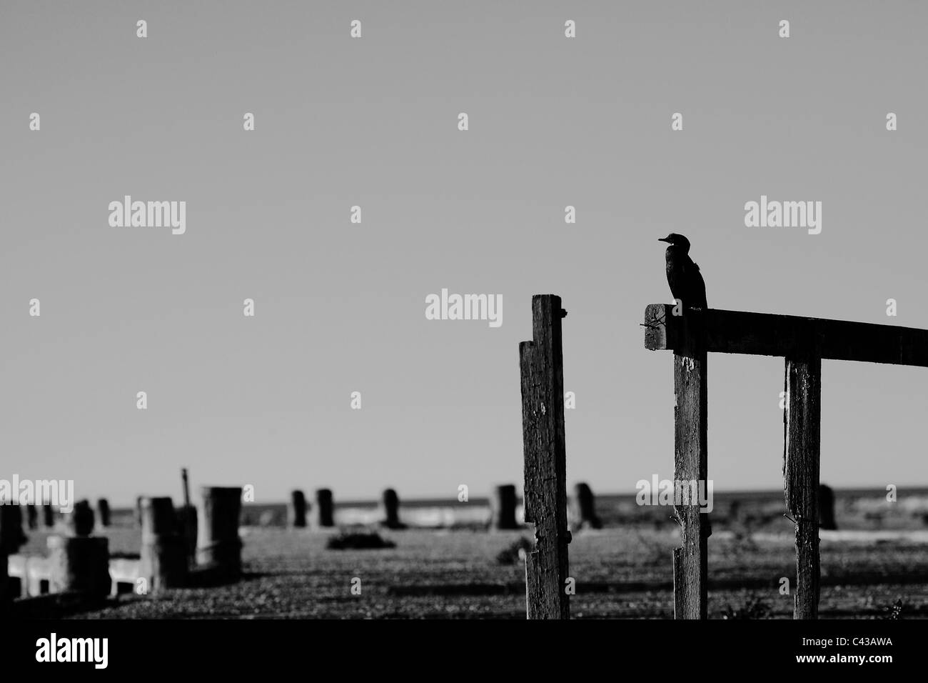 A lone Black Shag surveys the view from derelict pier in Oamaru, New Zealand. - Stock Image