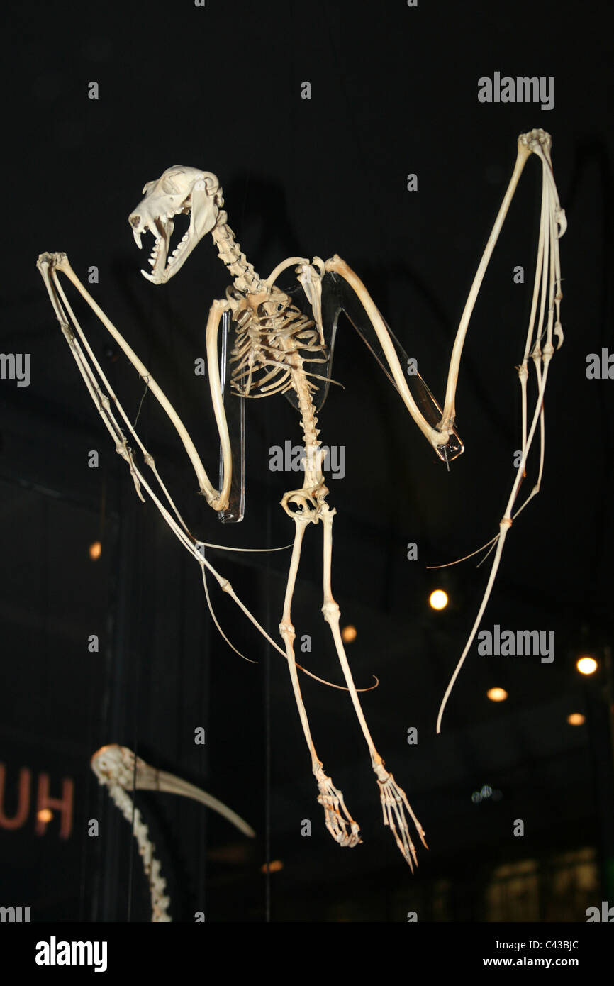 Anatomy Of A Bat Stock Photos Anatomy Of A Bat Stock Images Alamy