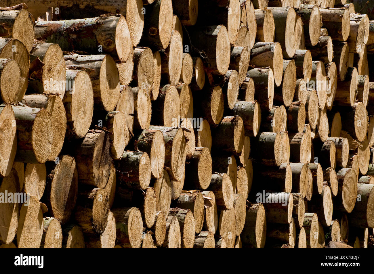 pile of conifer tree trunks - Stock Image