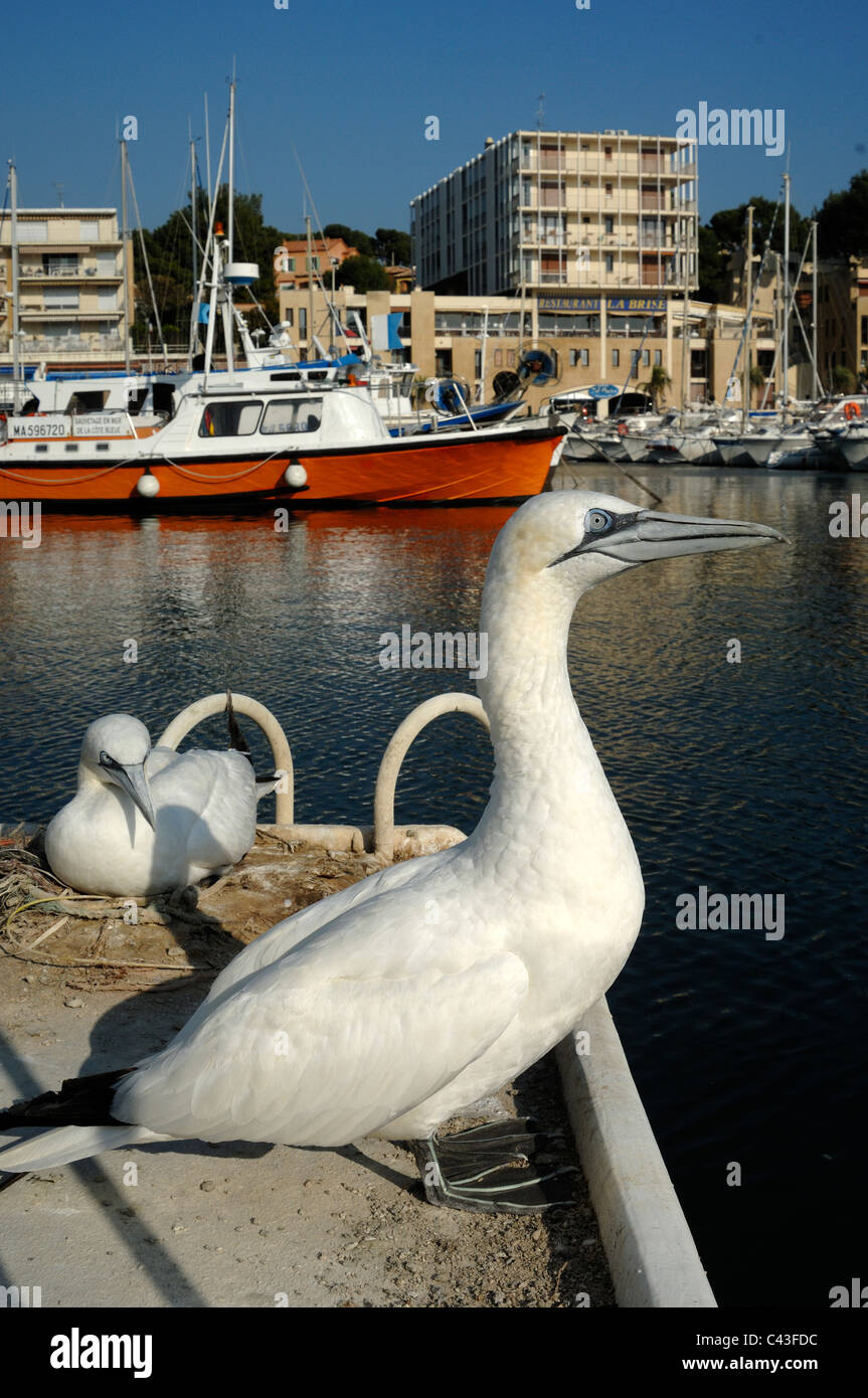 Pair of Gannets Nesting (Sula bassana) on Quay, Port of Carry-le-Rouet, with Orange Fishing Boat in Background, - Stock Image