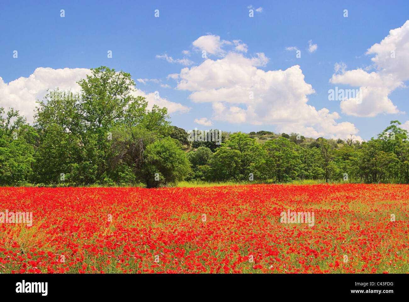 Klatschmohn im Feld - corn poppy in field 08 - Stock Image