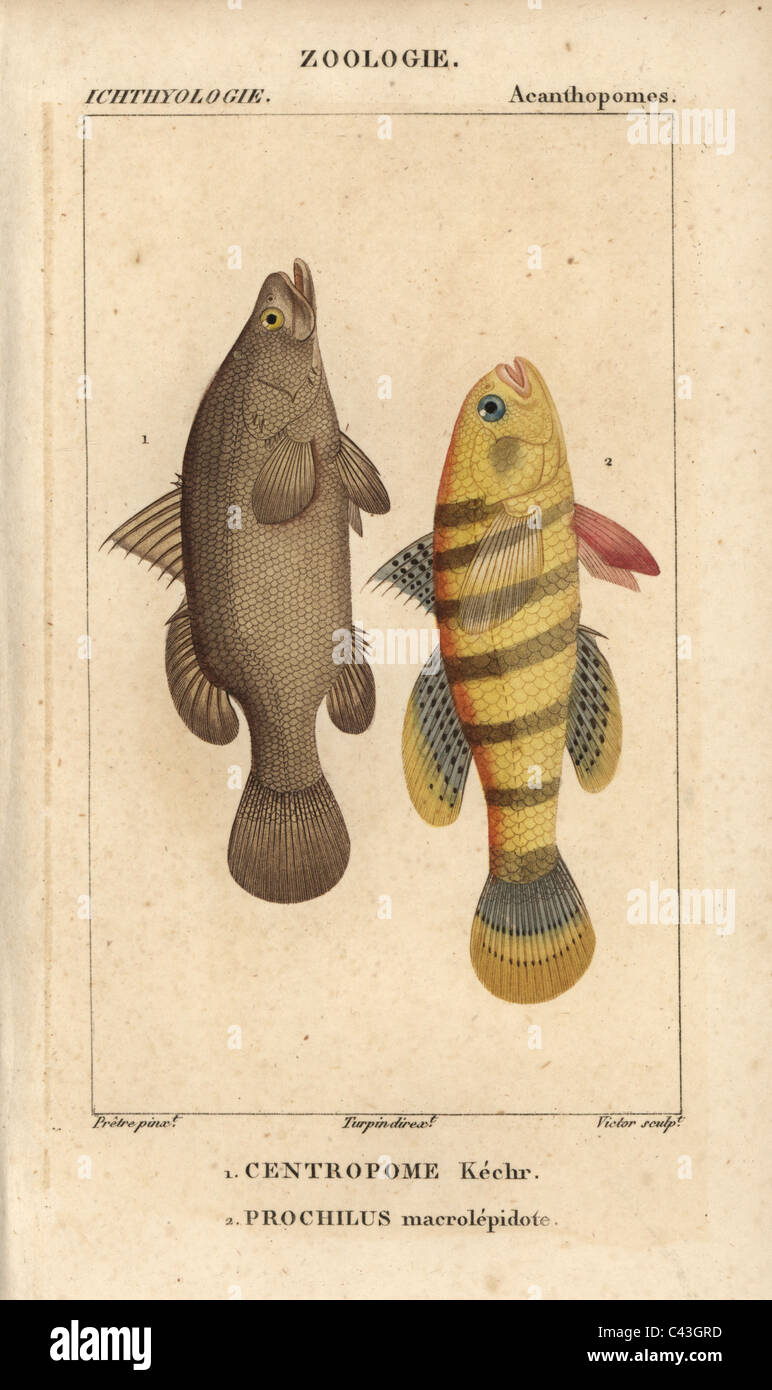 Nile perch and sleeper gudgeon - Stock Image