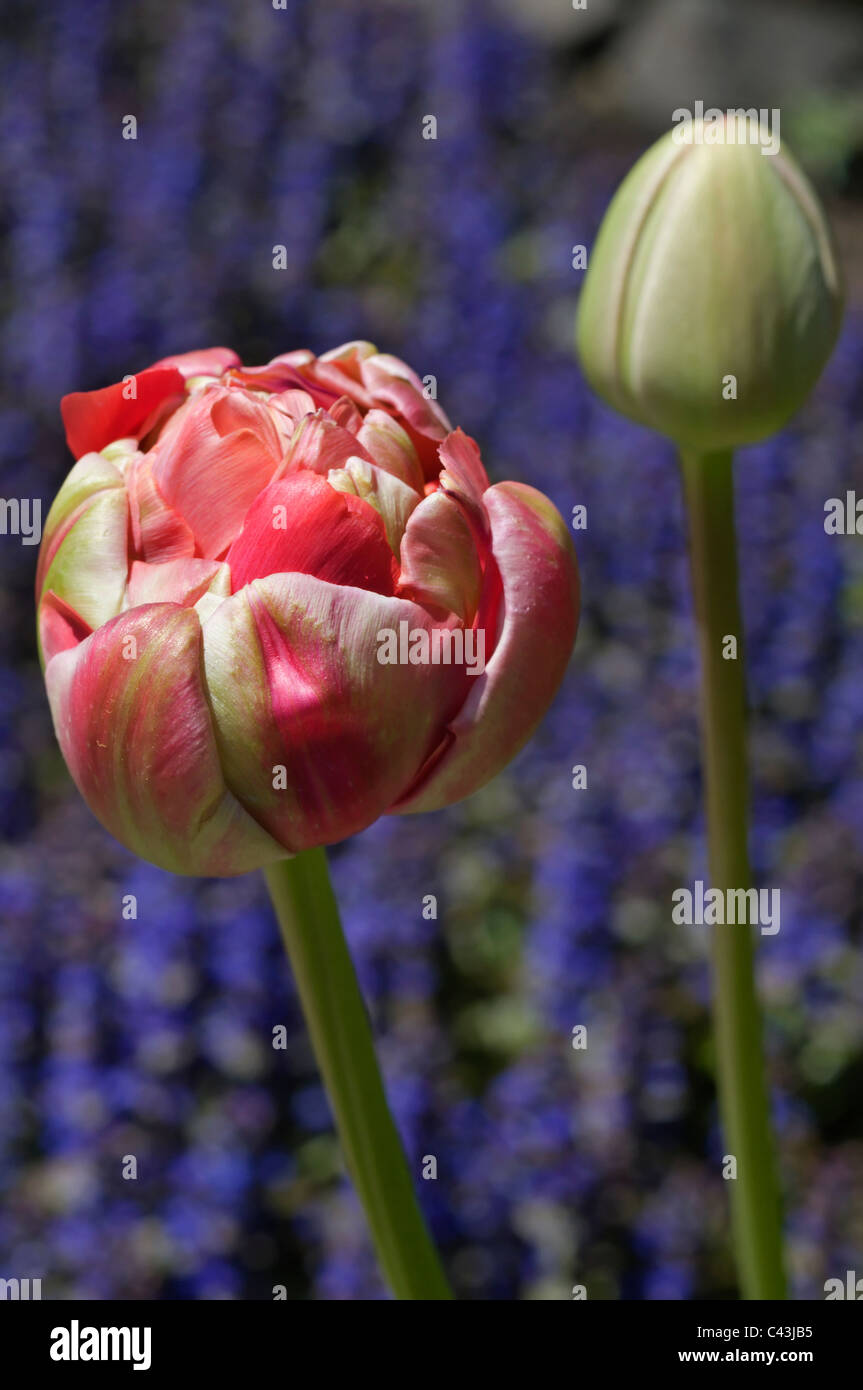 An extravagant and showy  'Renown Unique' tulip bud starts to open. - Stock Image