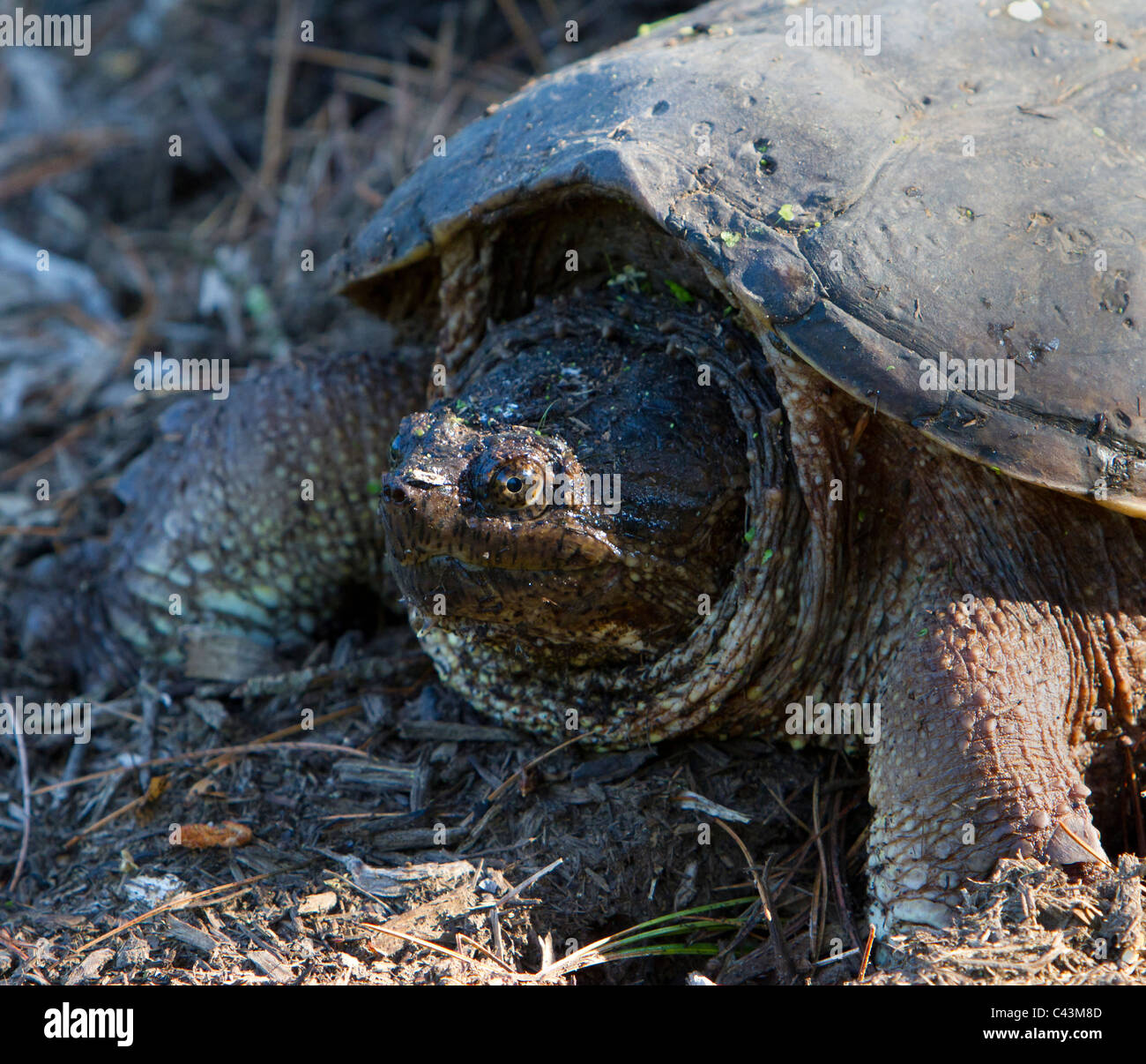 common snapping turtle, Chelydra serpentina Stock Photo