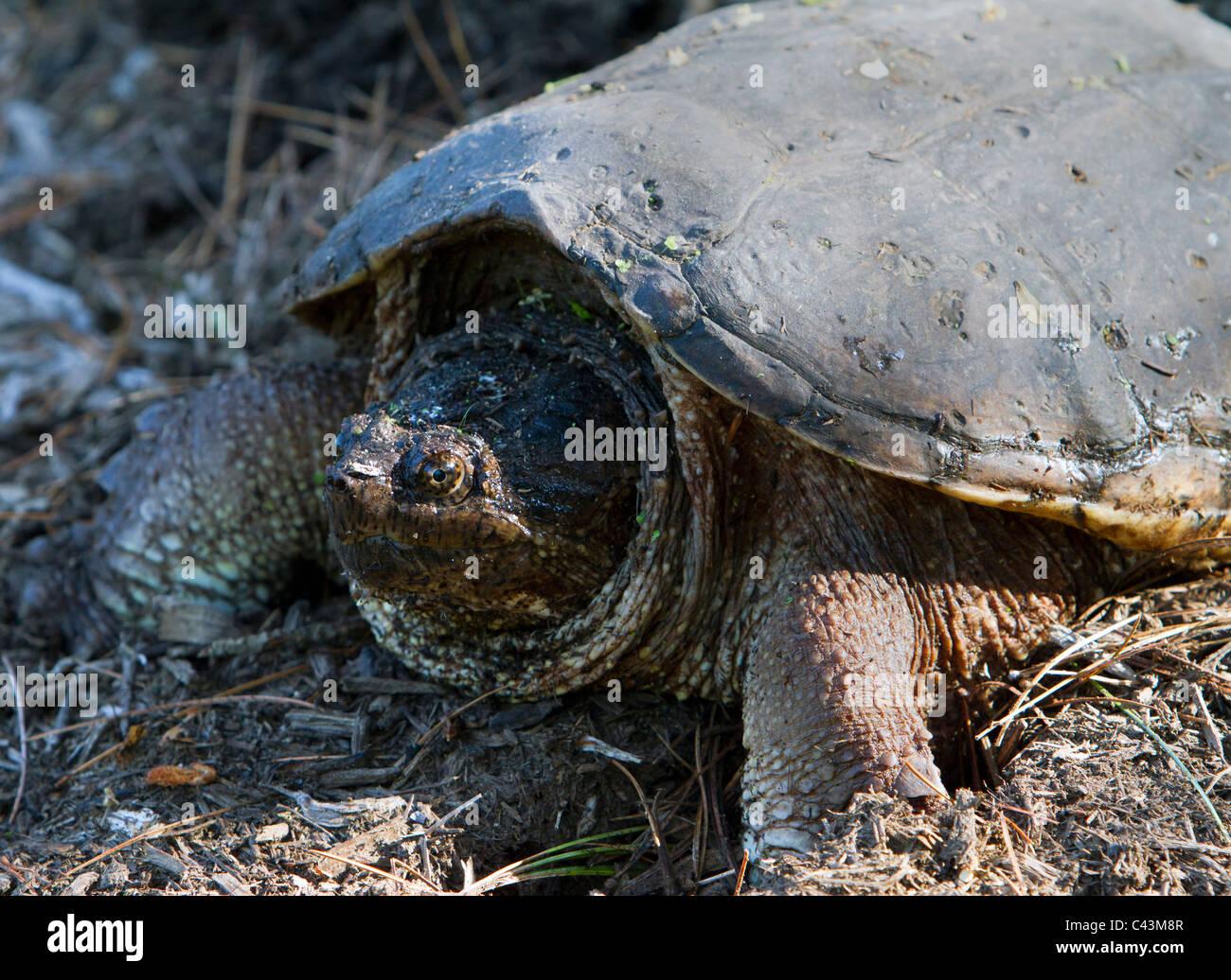 common snapping turtle, Chelydra serpentina Stock Photo