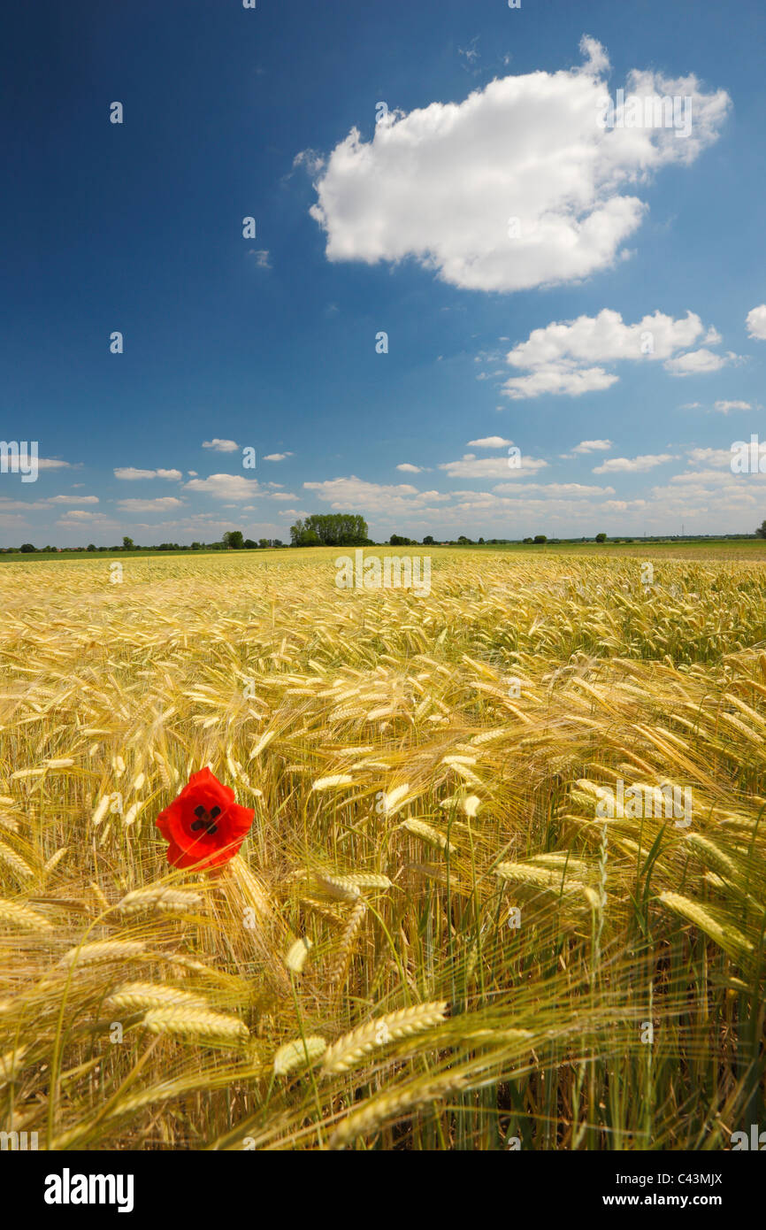 Poppy in a field - Stock Image