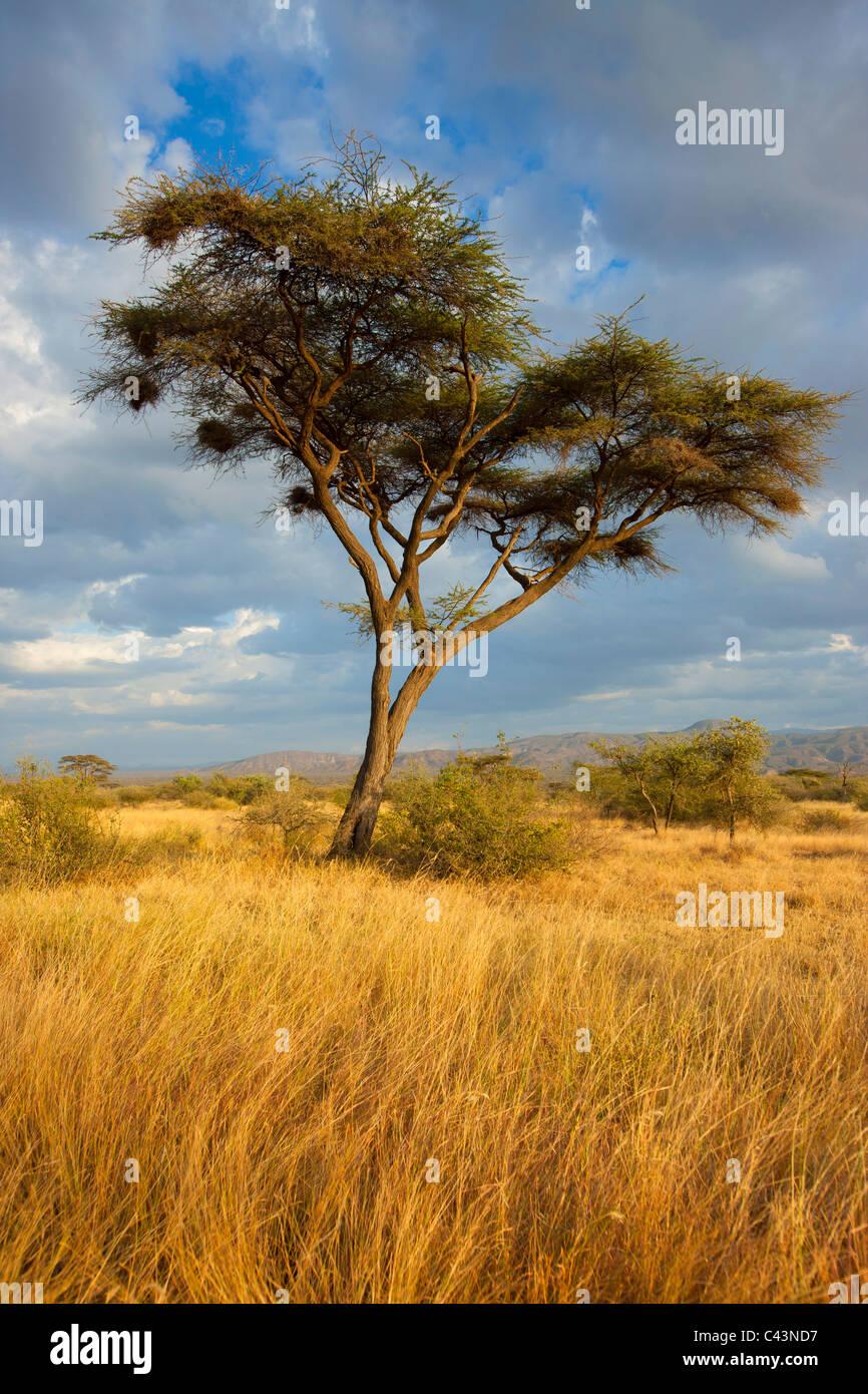 Awash, national park, Africa, Ethiopia, savanna, grass, tree, acacia, clouds, evening light - Stock Image