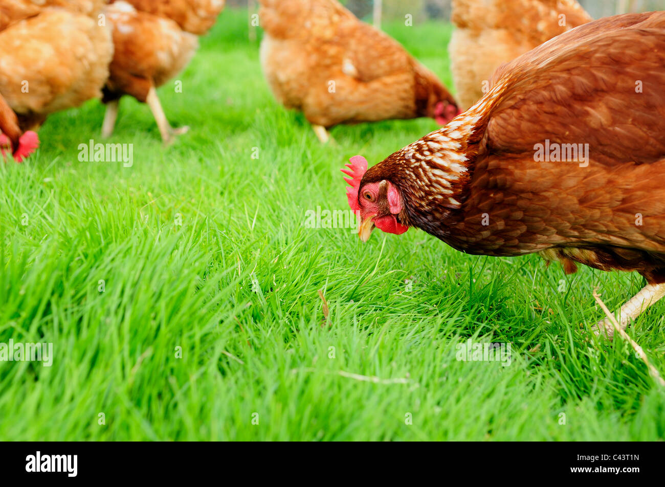 Hens Chicken's Poultry.(Gallus gallus domesticus). - Stock Image