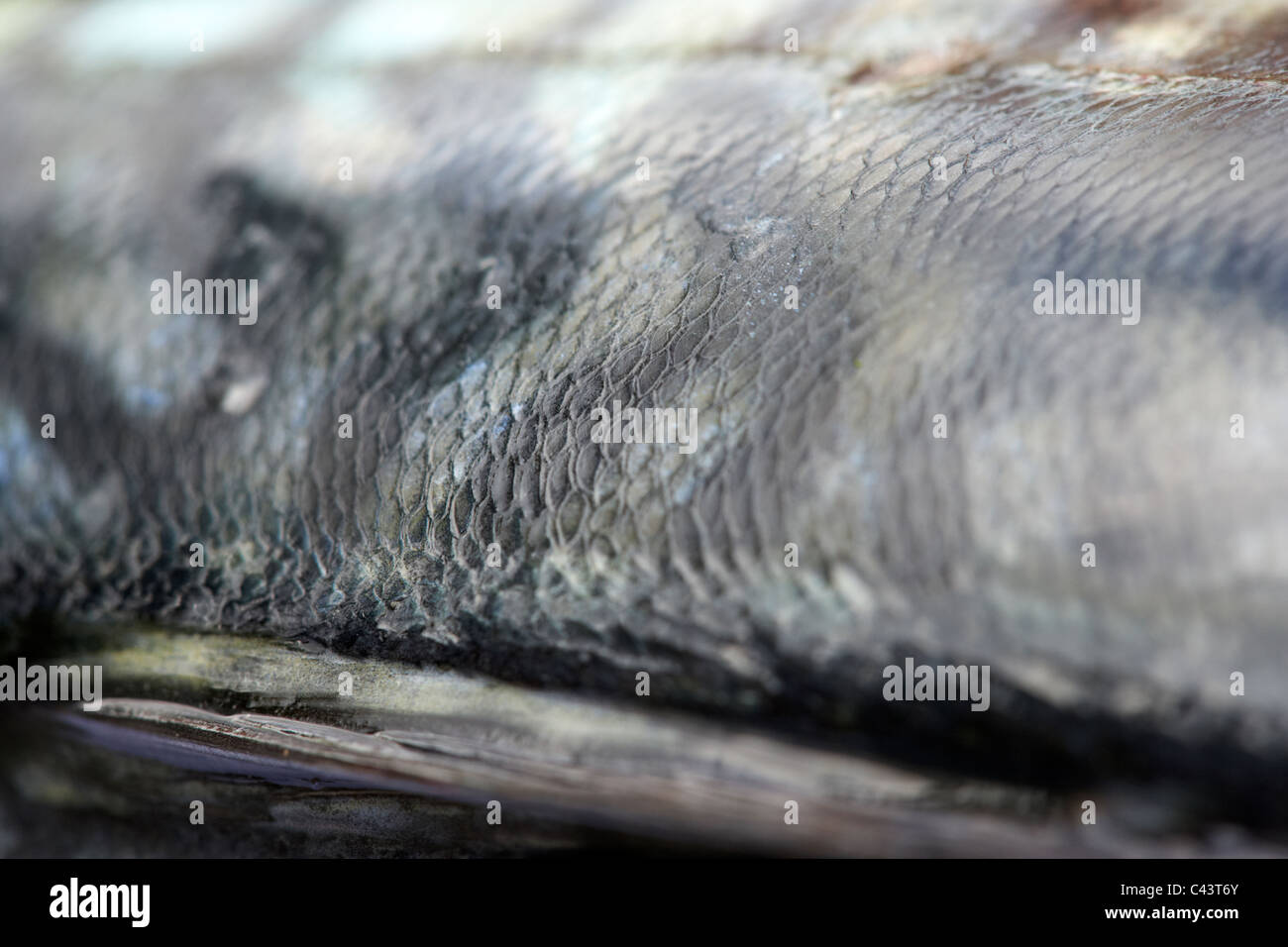 side scales on freshly caught mackerel fish on a plastic cutting board - Stock Image