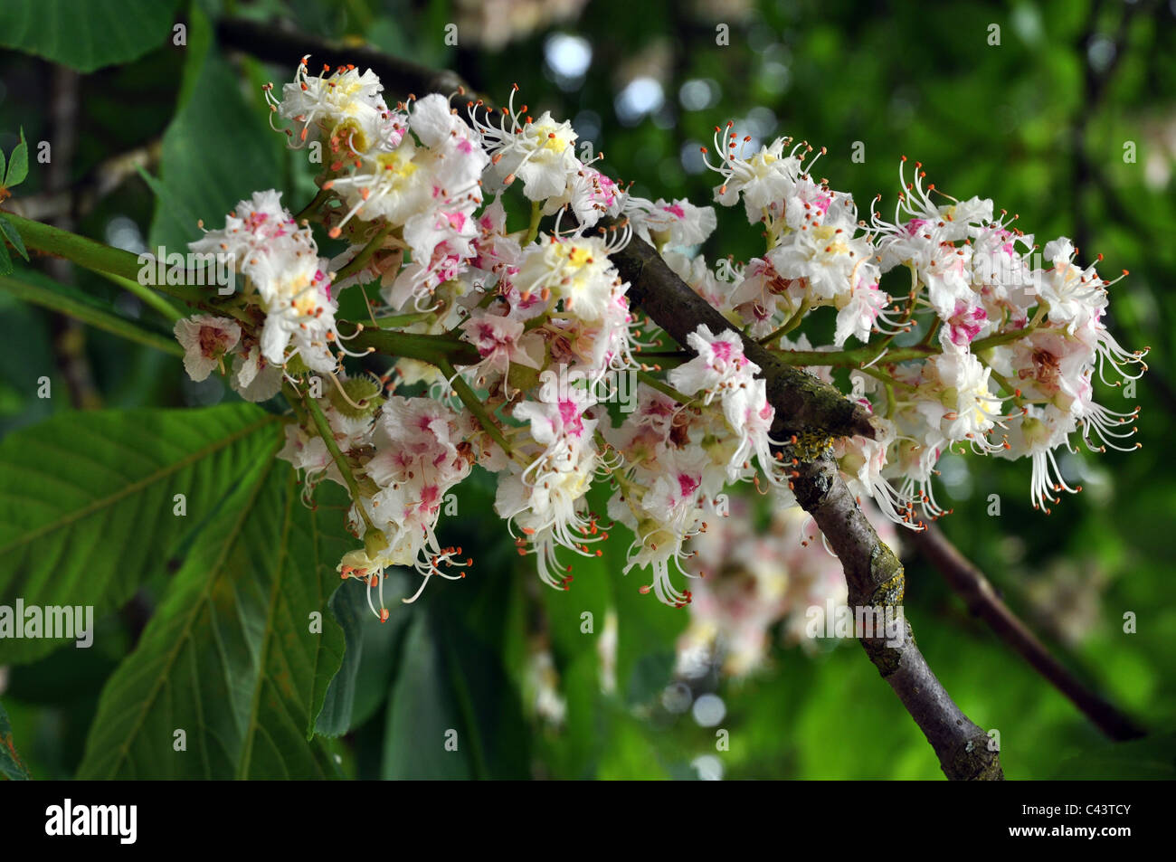 Sweet chestnut white blossom flowers stock photo 36964395 alamy sweet chestnut white blossom flowers mightylinksfo