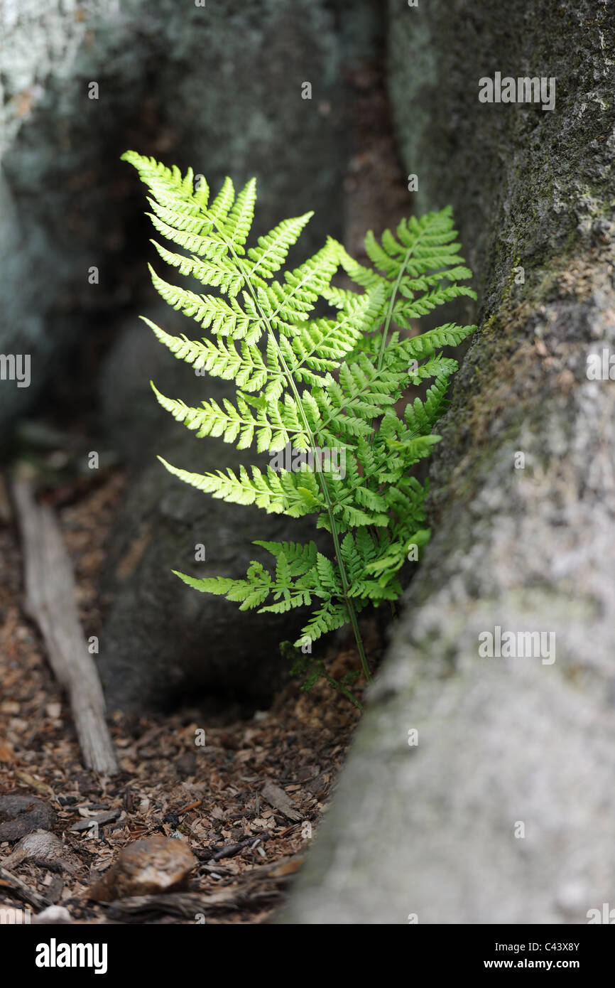 Two fern stems growing from a tree root. The delicate young foliage contrasts with the solidity and scale of the - Stock Image