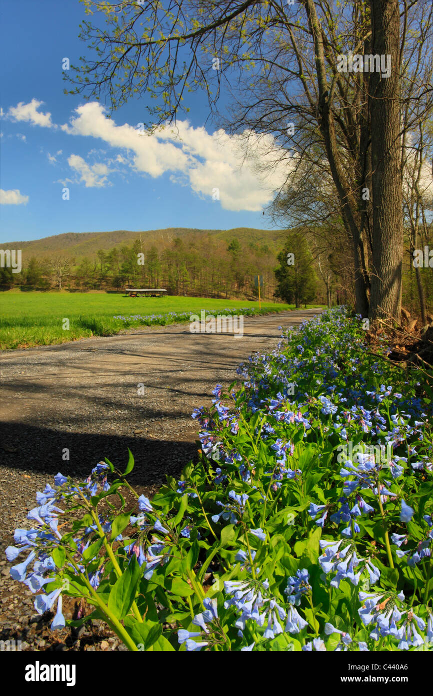 Blue Bells, Fort Valley, Seven Fountains, Shenandoah Valley, Virginia, USA - Stock Image