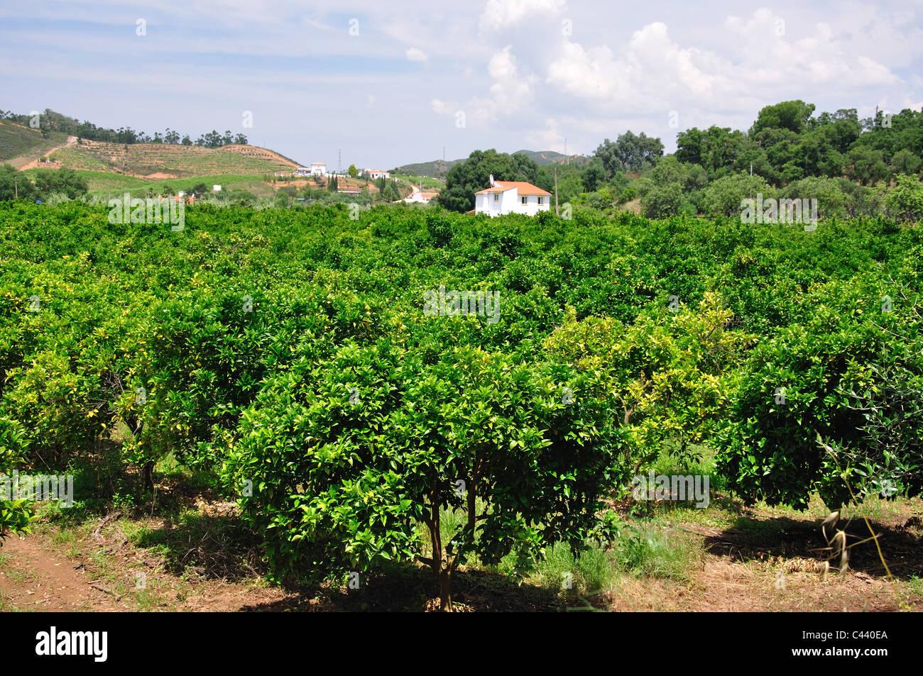 Orange grove in valley, near Silves, Faro District, Algarve Region, Portugal - Stock Image
