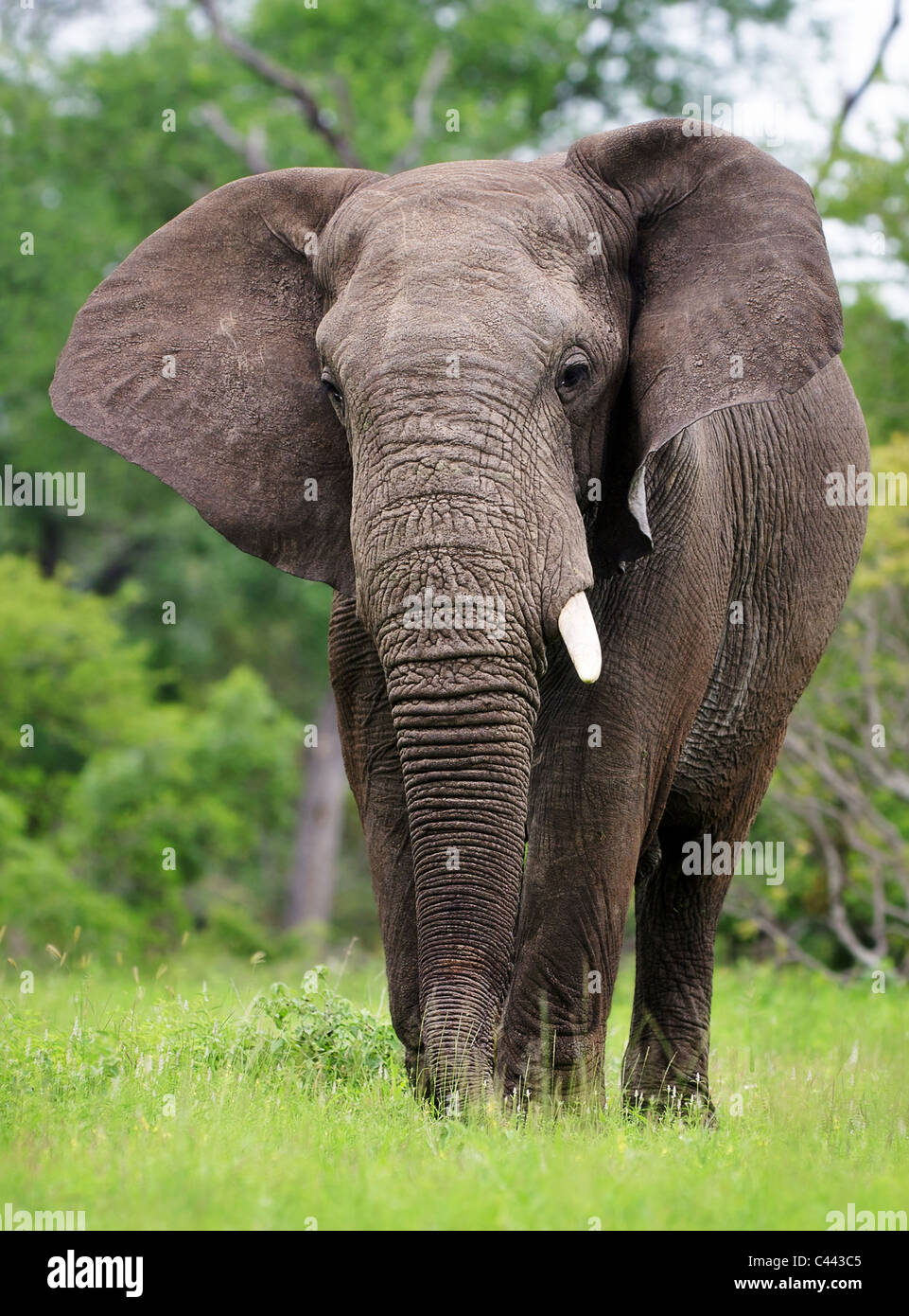 African Elephant walking on green grass -  Kruger National Park - South Africa - Stock Image