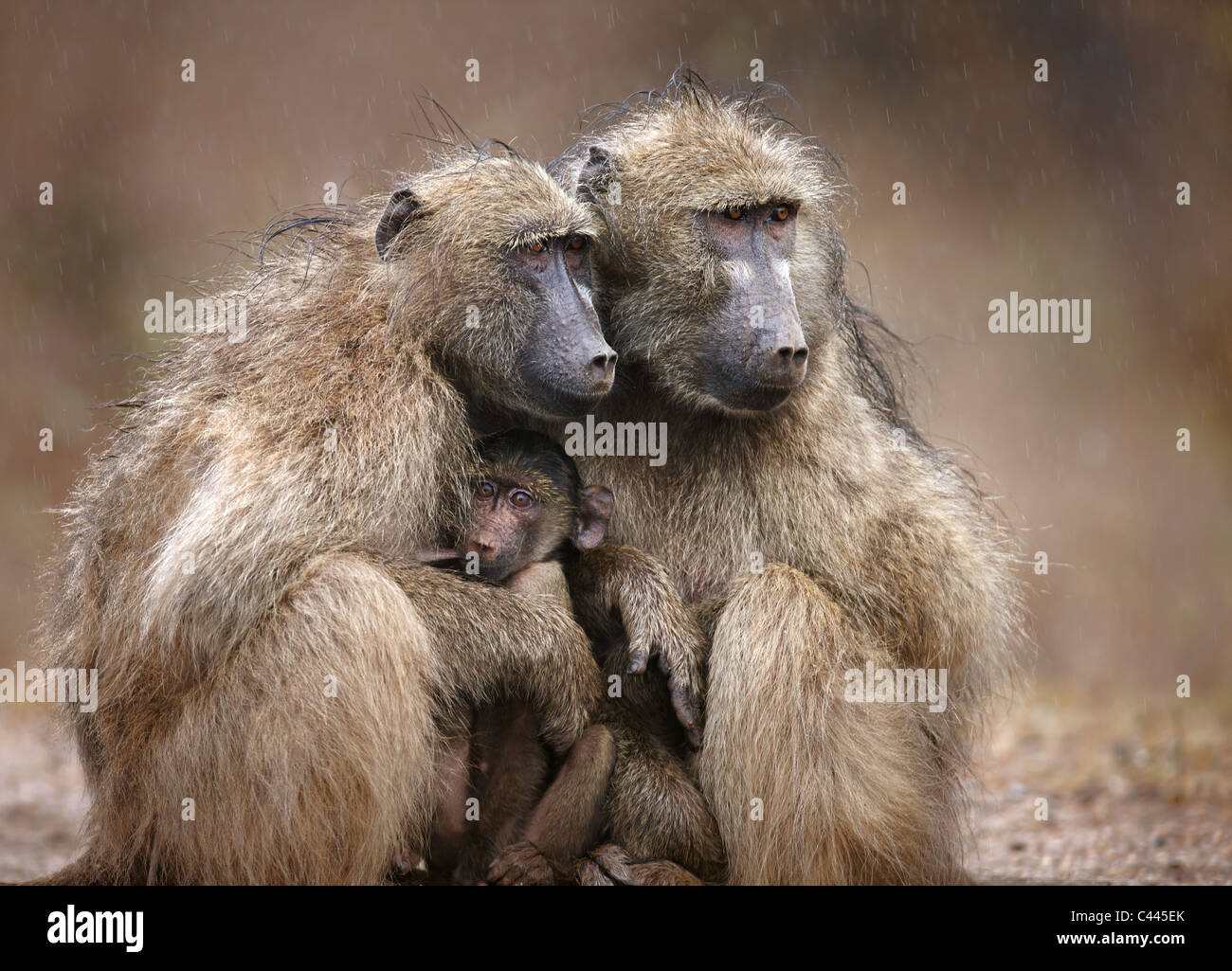 Two adult baboons protecting an infant from falling rain; Kruger National Park; South Africa - Stock Image