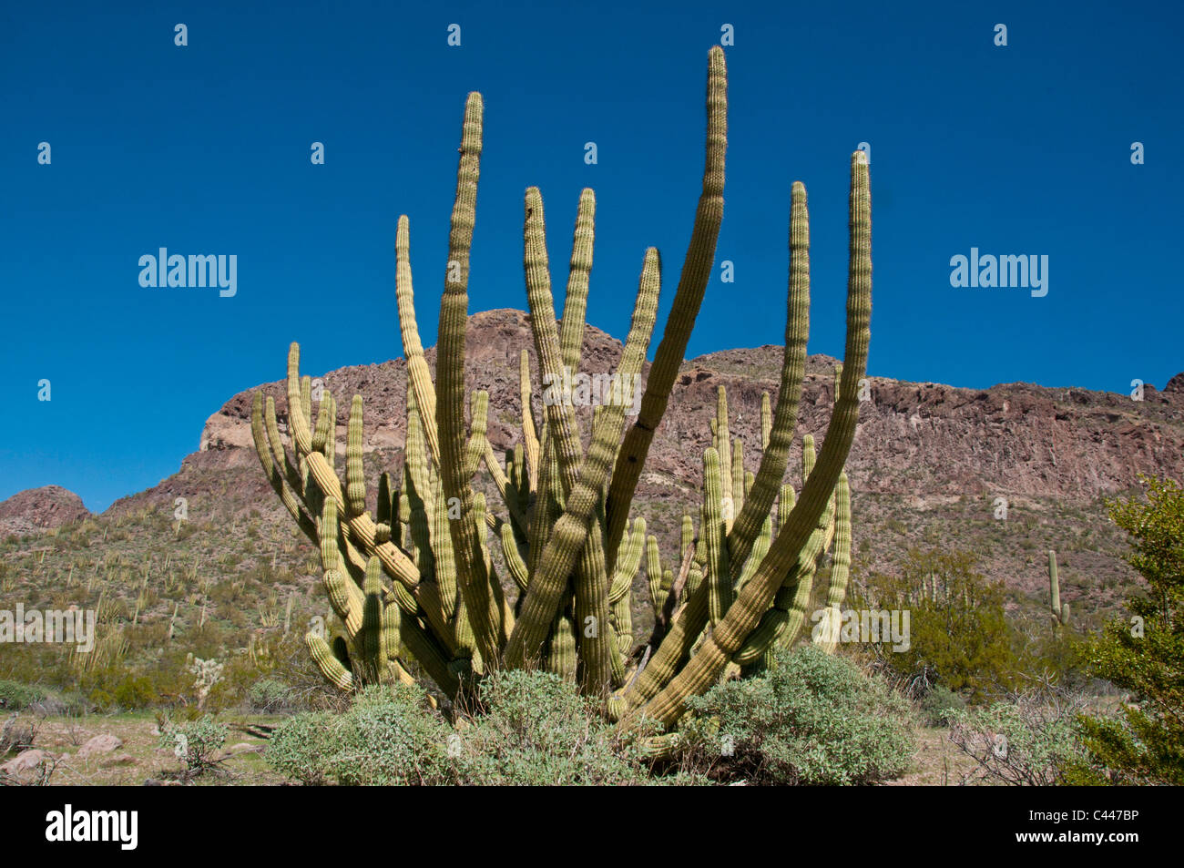Organ pipe Cactus National Monument, Arizona, March, cactus, National Park, USA, America, North America, landscape - Stock Image