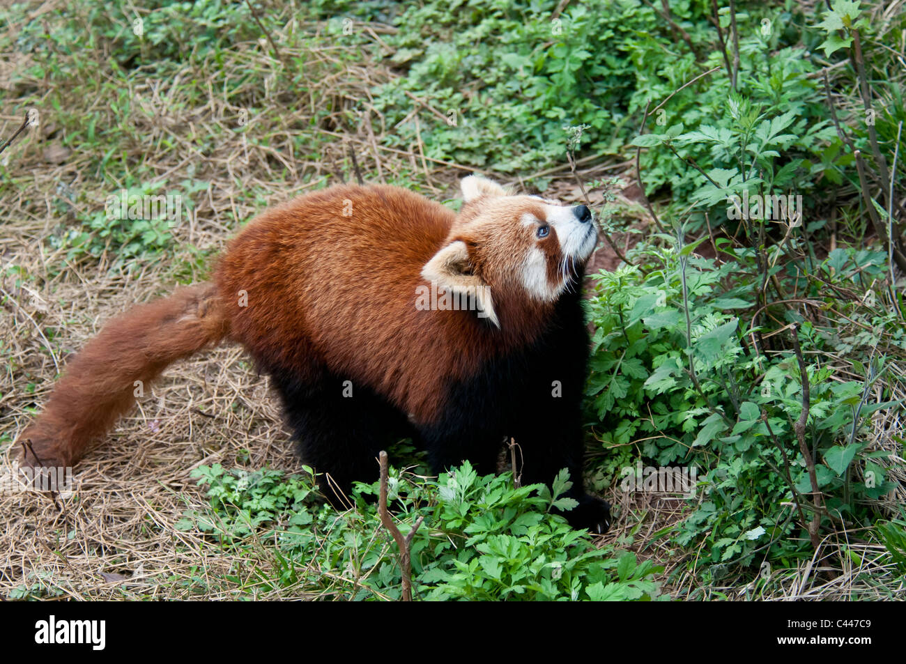 red panda, ailorus fulgens, panda breeding and research center, chengdu, China - Stock Image