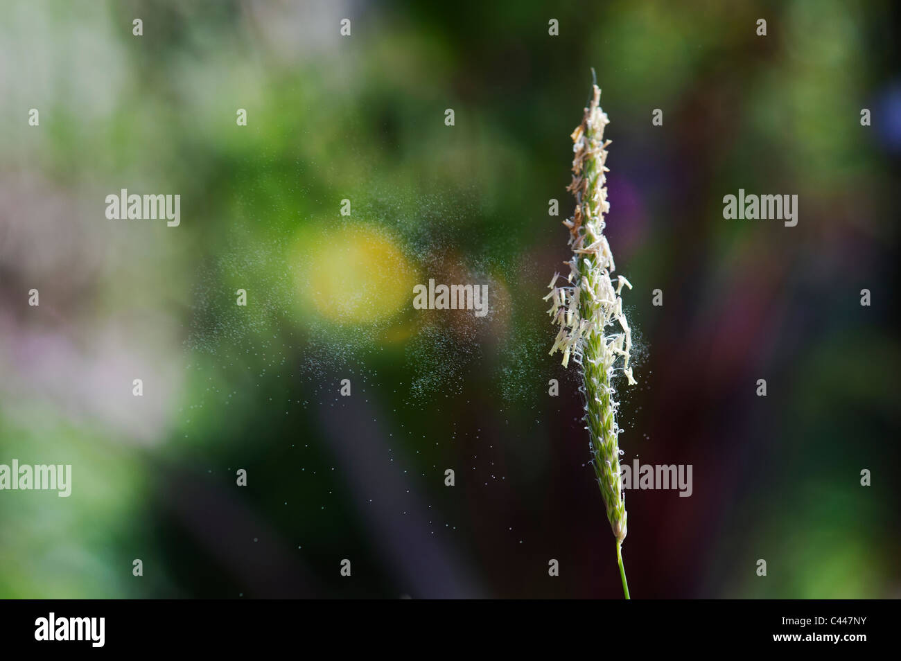 Pollen being released from grass - Stock Image