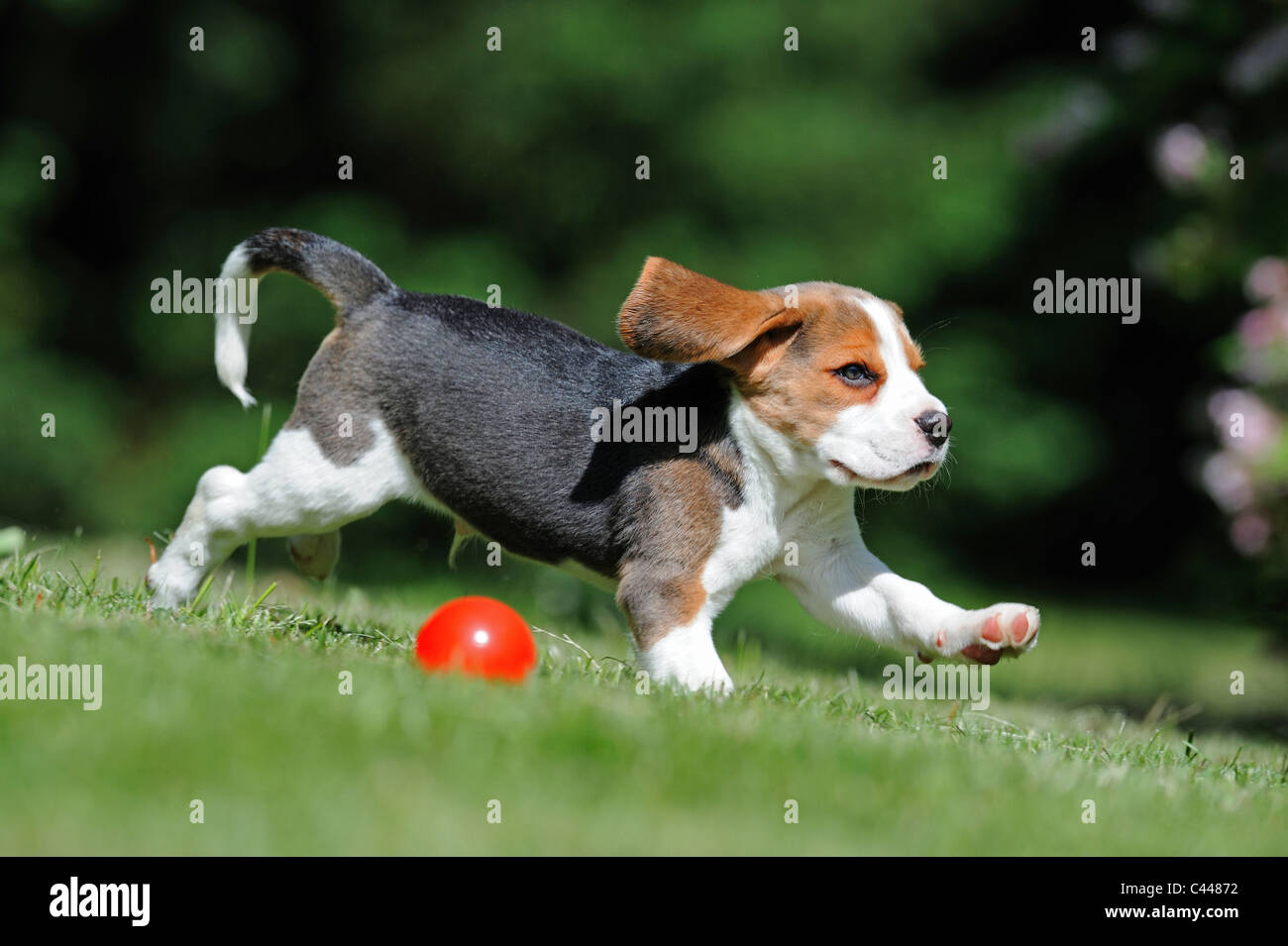 Beagle Puppy Red High Resolution Stock Photography And Images Alamy