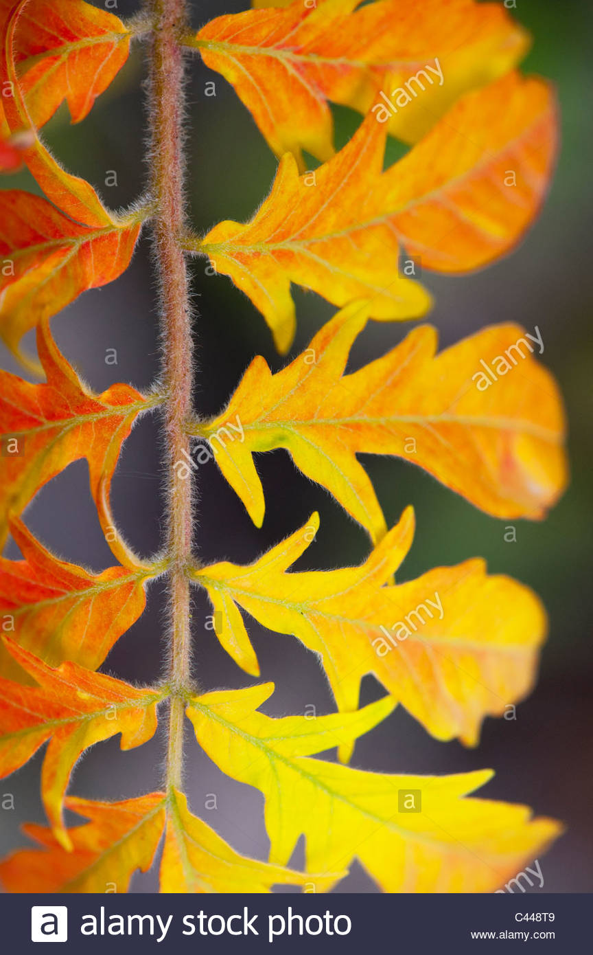 Rhus Typhina bailtiger 'tiger eyes'. Autumn leaf colour close up - Stock Image