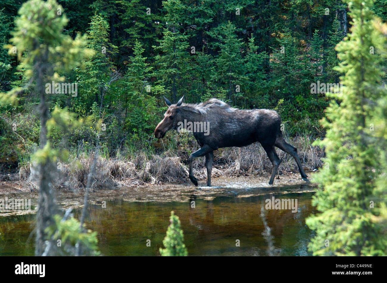 moose, alces alces, along Alaska Highway, took cutoff road, may, animal, pond, USA, North America, Alaska, wood - Stock Image