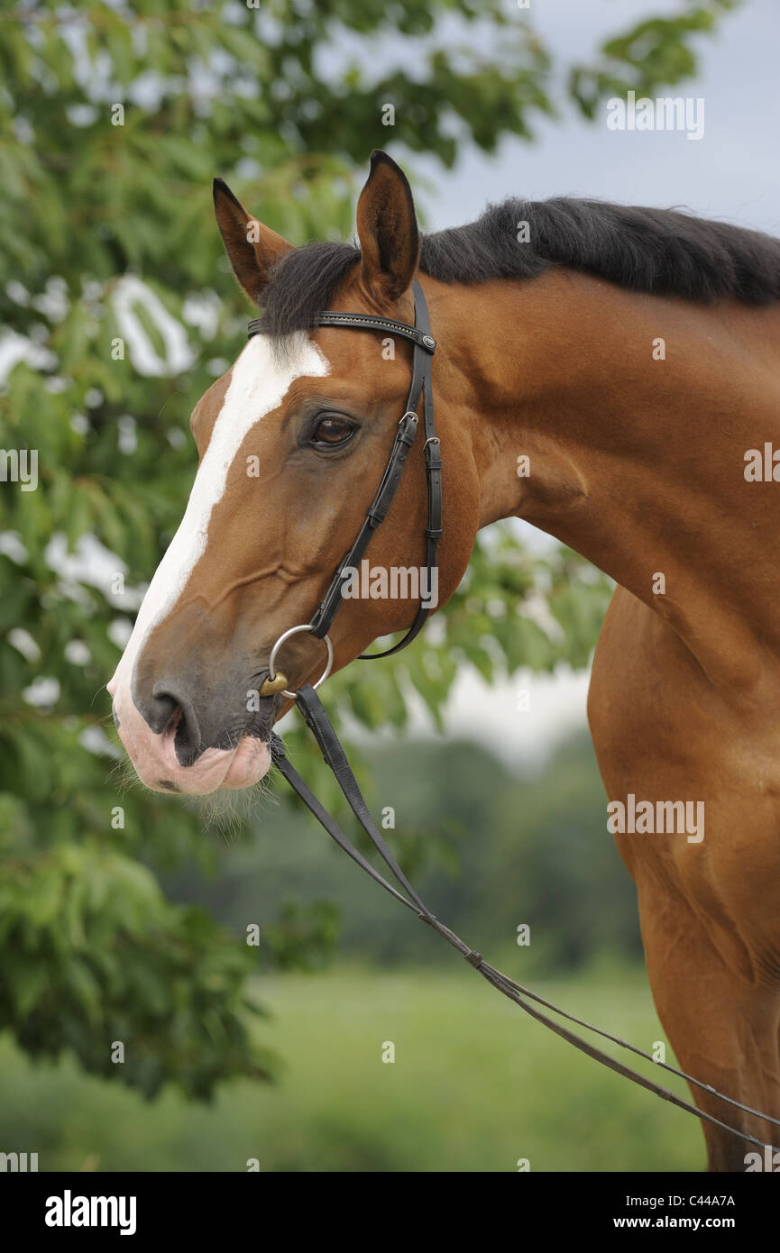 German Warmblood (Equus ferus caballus). Portrait of a bay horse with bridle. - Stock Image