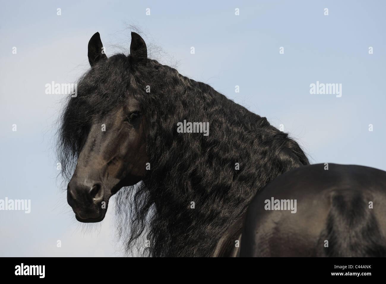 Friesian Horse (Equus ferus caballus). Portrait of a stallion. - Stock Image