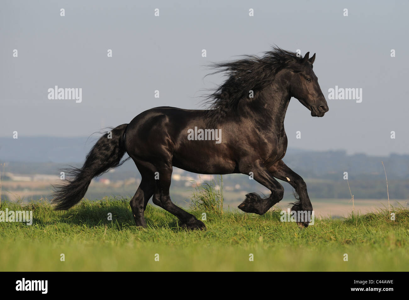 Friesian Horse (Equus ferus caballus). Stallion in a gallop on a meadow. - Stock Image