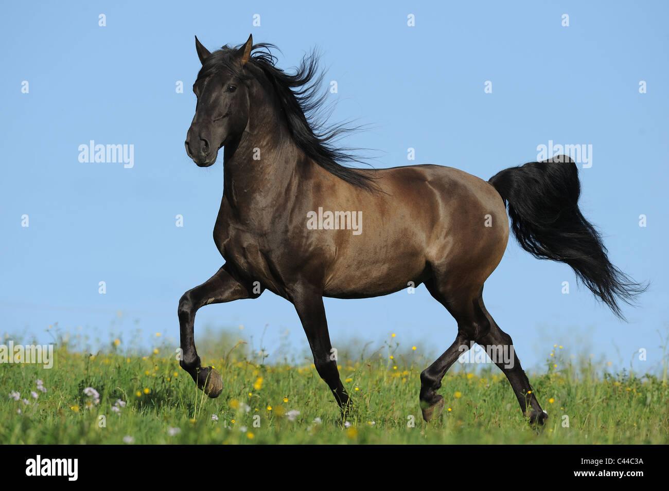Lusitano (Equus ferus caballus), stallion at a trot on a meadow. - Stock Image