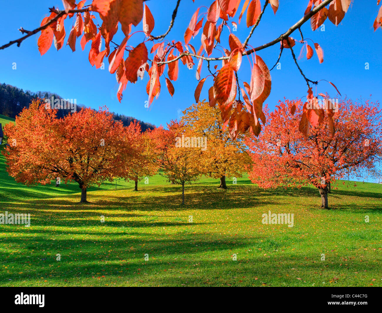 Trees, leaves, autumn, canton Zurich, Switzerland, autumn trees, colors, - Stock Image